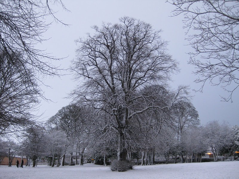 Lime tree in snow, Sheffield